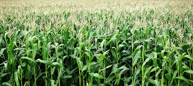 Co powinniśmy wiedzieć o chwastach które atakują naszą kukurydzę?